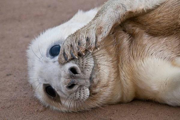 Grey Seal Pup by Zydeco_Joe