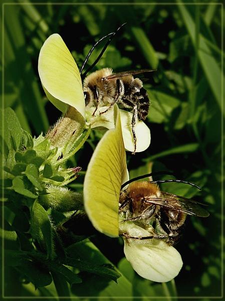 longhorn bees by CarolG
