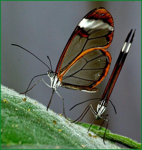 Greta Oto-Glasswing Butterfly 03. by Badgerfred
