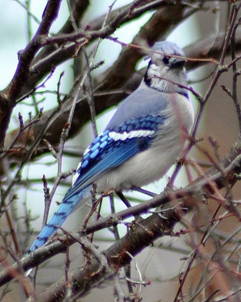 Blue Jay by HectorRivera