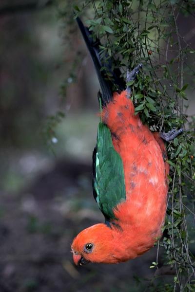Acrobatic King Parrot by Elfix6