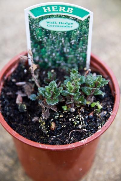 GERMANDER   Wall or hedge Germander (Teucrium x lucidrys) by rambler