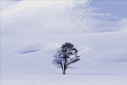 Yellowstoe Oak