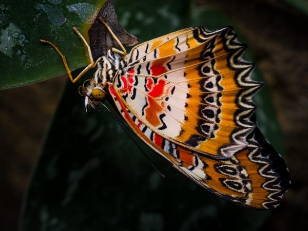 Malay lacewing by Mackem