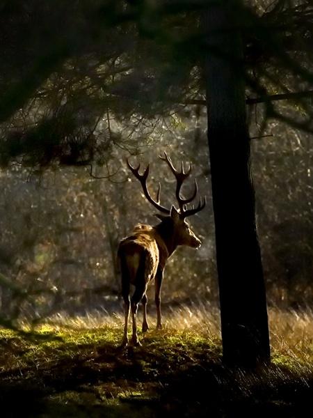Deer @ Dawn by camramadbob
