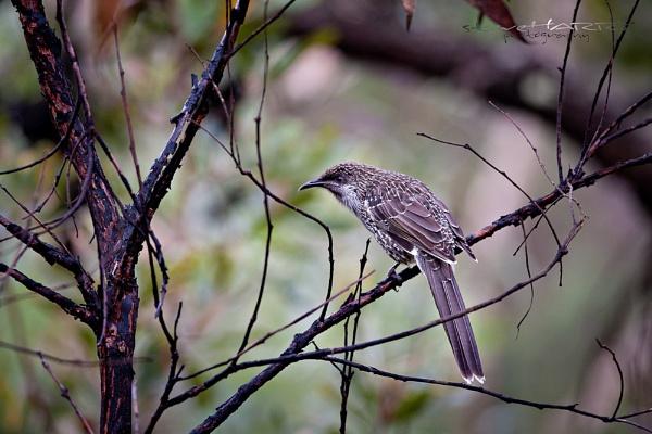 Little Wattle Bird by SteveHarry
