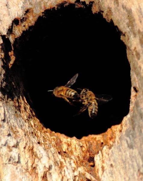 Wild bee\'s long range macro by johnybegood