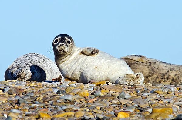 Lindisfarne Seals by icphoto