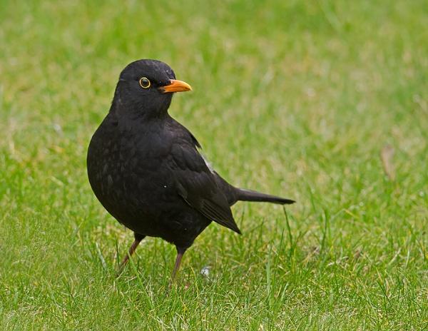 Blackbird by Maccas