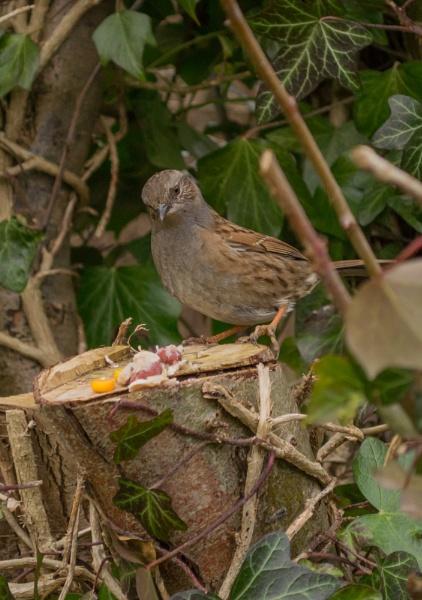 Plain ol\' Sparrow by woodlandlad