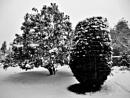 Christmas Trees ? by Gypsyman