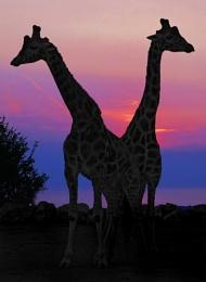 Safari sunset