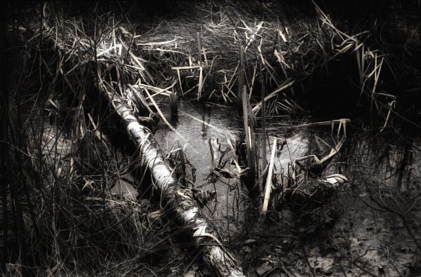 Silver birch in a bog by marlin50