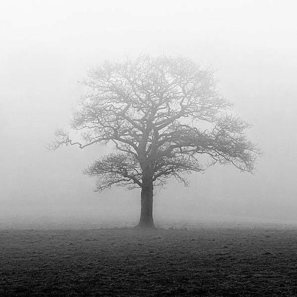Oak tree in the mist by mshepherd