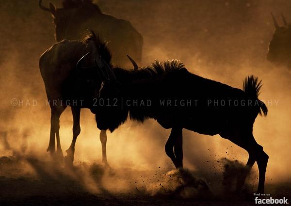 Wildebeest Silhouette by Chadw