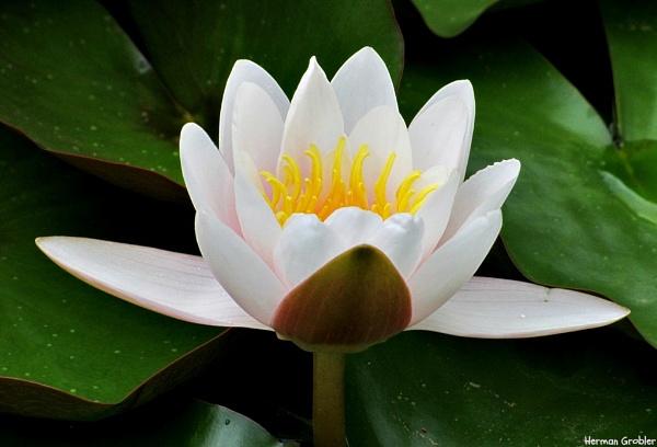 Water lillies by Hermanus
