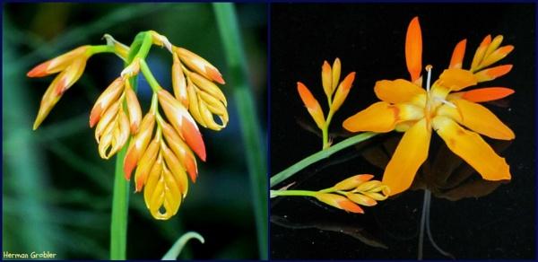 Unknown Flower by Hermanus