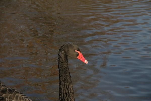 Black Swan by jakrabbit