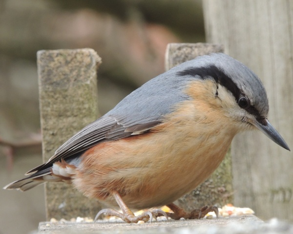 Nuthatch by Andrea16