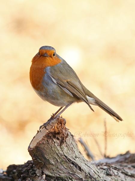 Robin by Robinsons