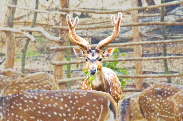 A Horned spotted deer by prabirsenuk