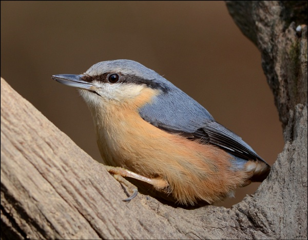 Nuthatch by Jefflor