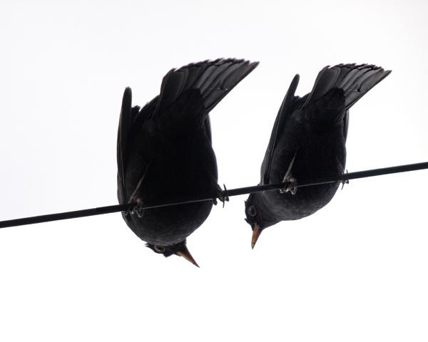 Blackbirds by victorburnside