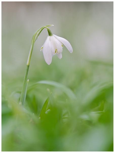Warley Snowdrop... by Greyheron