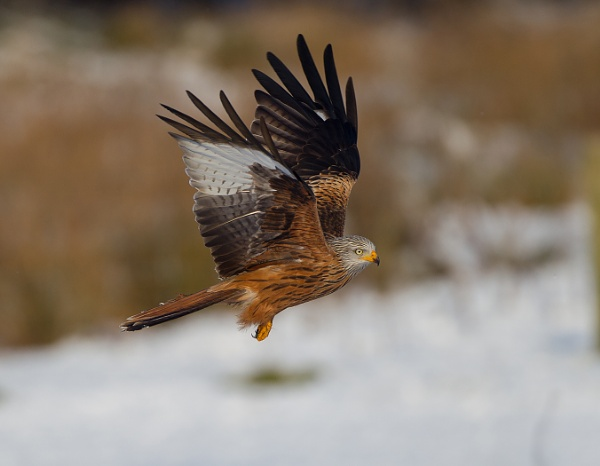 red kite by pronature