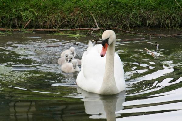 Swan Family by TracyK