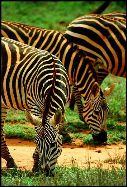 Graze, Kenya by paw1