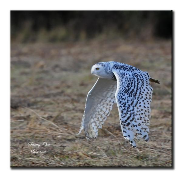 Snowy Owl by Maiwand