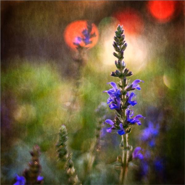 Salvia Sunrise by AnneWorner