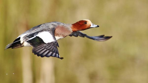 ducks,wigeon,flight,shot by fwatts