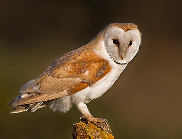 Barn Owl (Tyto Alba by Dinney