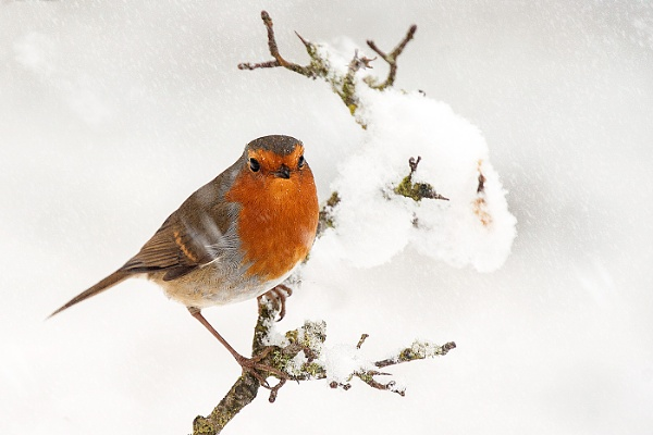 Winter Robin by mikepearce