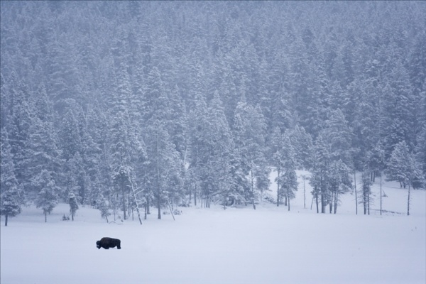 Lone Bison by rontear