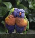 Lorrikeets in love.