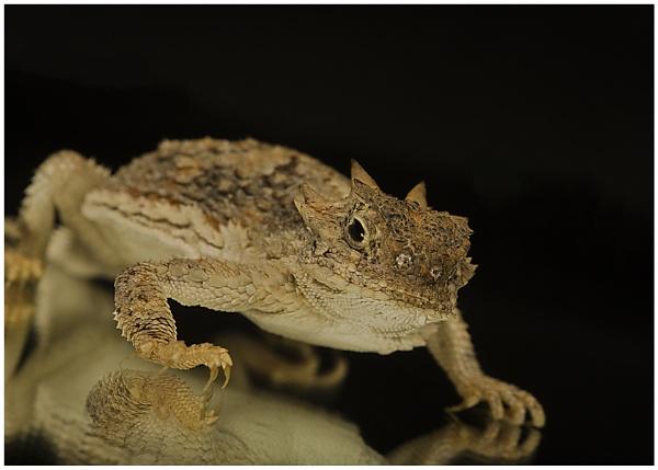 Horned Lizard by Lillian