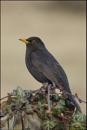 Blackbird taken in March