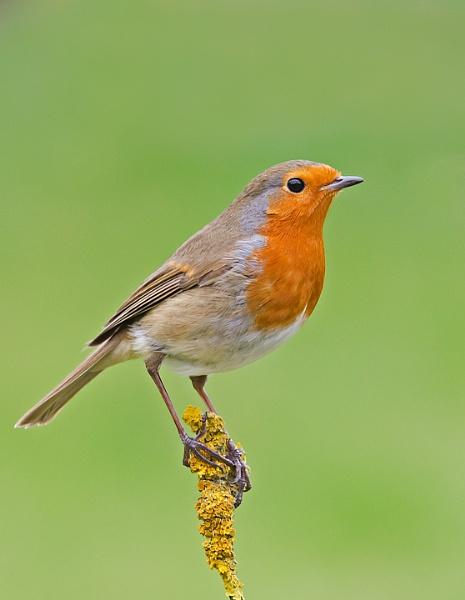 Robin by Maccas