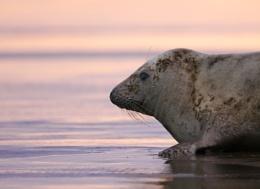 Grey Seal at Dawn