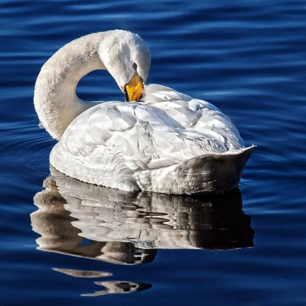 Swan on Mere by Malfun