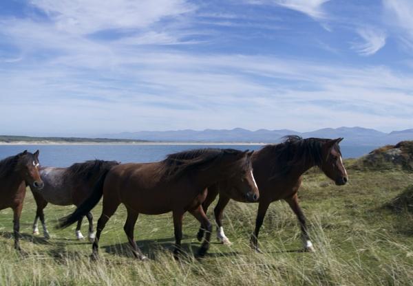 Llandwyn Horses by DilysT