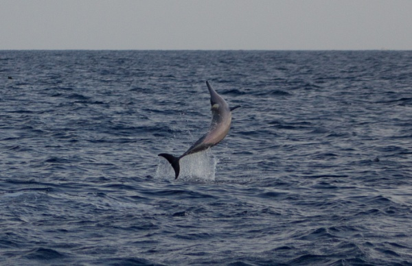 Spinner Dolphin by chefdumaison