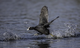 Coot Running Across the Water