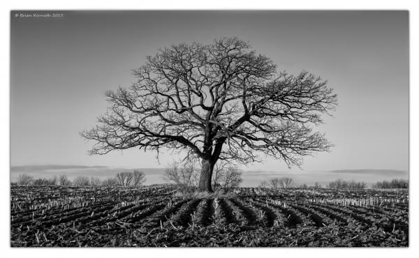 stately oak by EHDesigns