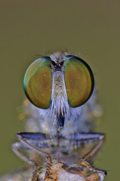 eye of robberfly by sarasij