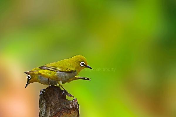oriental white eye bird by sarasij