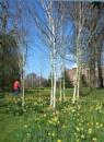 Swathe of Daffodils